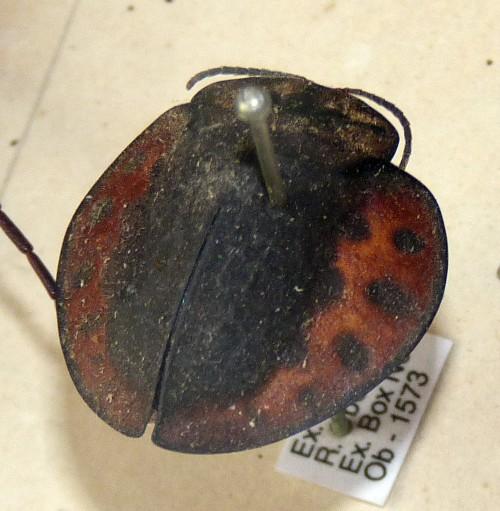 Goniochenia buckleyi 26044521077_b835f1ca70_o