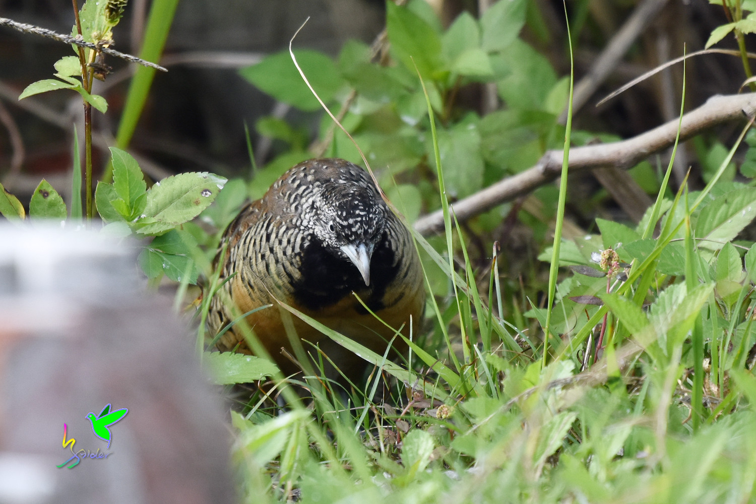 Barred_Buttonquail_9573