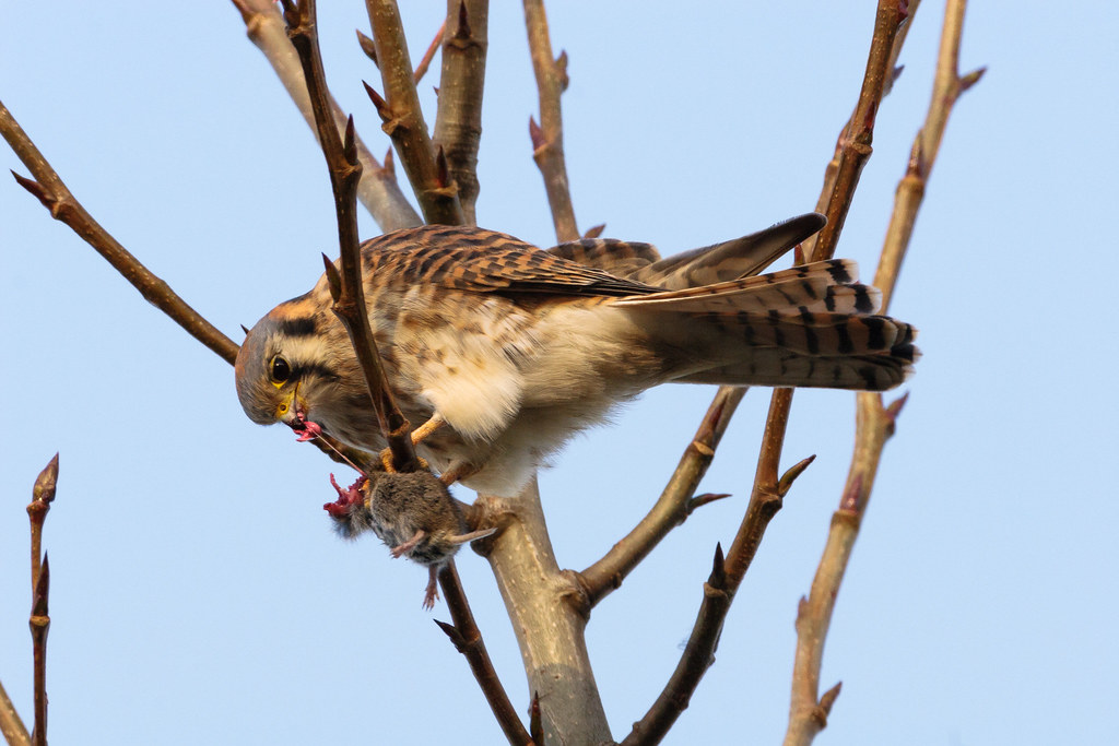 A female American kestrel eats a mouse at Ridgefield National Wildlife Refuge in Washington