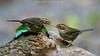 Pellorneum ruficeps - Puff-throated Babbler