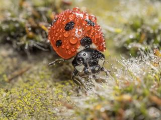 seven_spot_ladybird_1120764