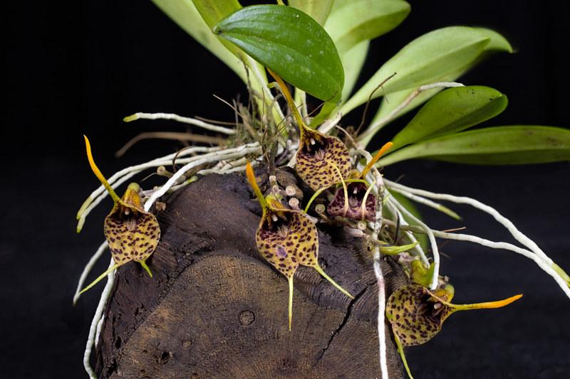 Miniatur-Orchideen Teil 4 - Seite 5 27135382848_9da91d4d54_c