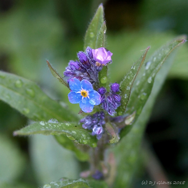 Forget-me-not droplets