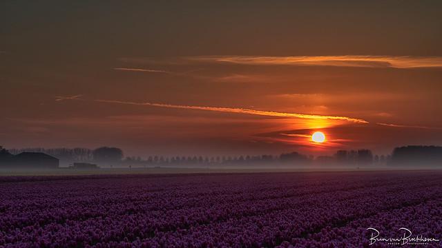Sunrise, purple tulips and fog