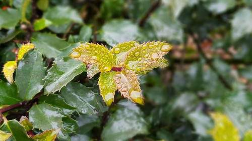 Raindrops on holly