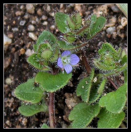Veronica hederifolia subsp. hederifolia - véronique à feuilles de lierre  39619441490_60d20476fd