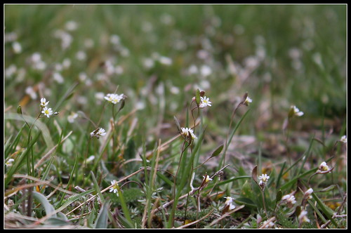 Erophila verna (= Draba verna) - drave printanière 39620650860_88c089a44a
