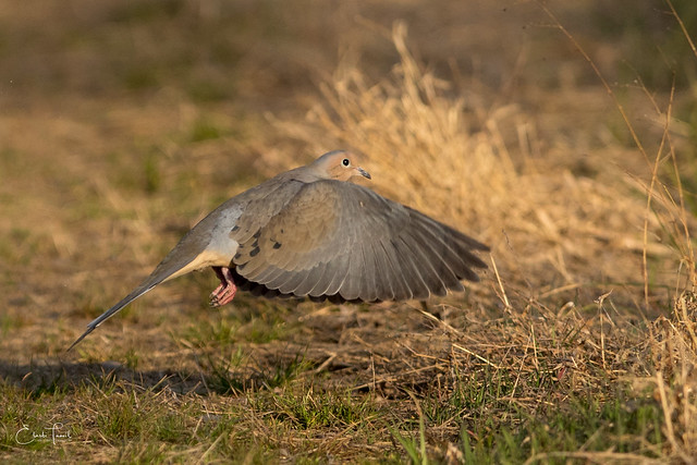 Mourning Dove., Canon EOS 7D MARK II, Canon EF 300mm f/2.8L IS