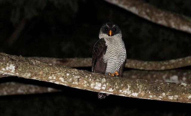 Black-and-white Owl /Chouette à lignes noires /Strix nigrolineata