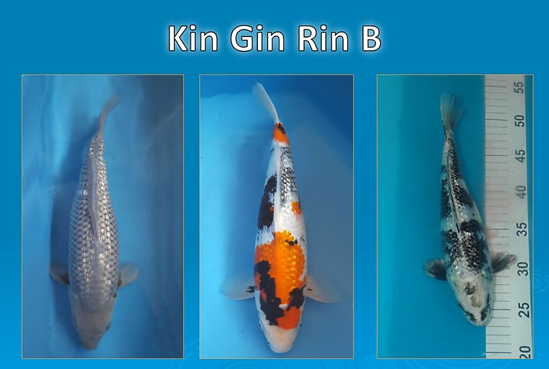 ginrin-ranking