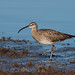 Whimbrel on passage