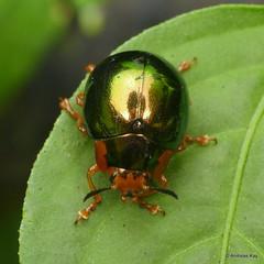 Leaf beetle, Platyphora thomsoni