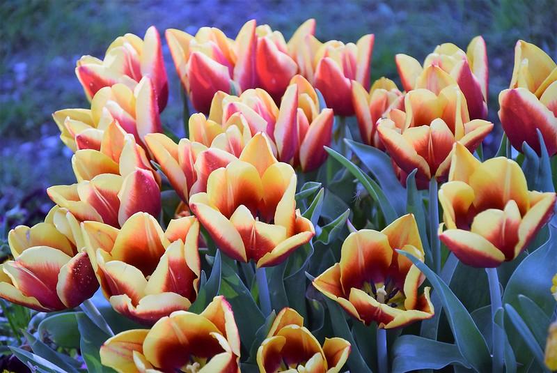 Tulips 20.04.2018