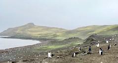 Penguins at Barrientos Island, Aitcho Islands