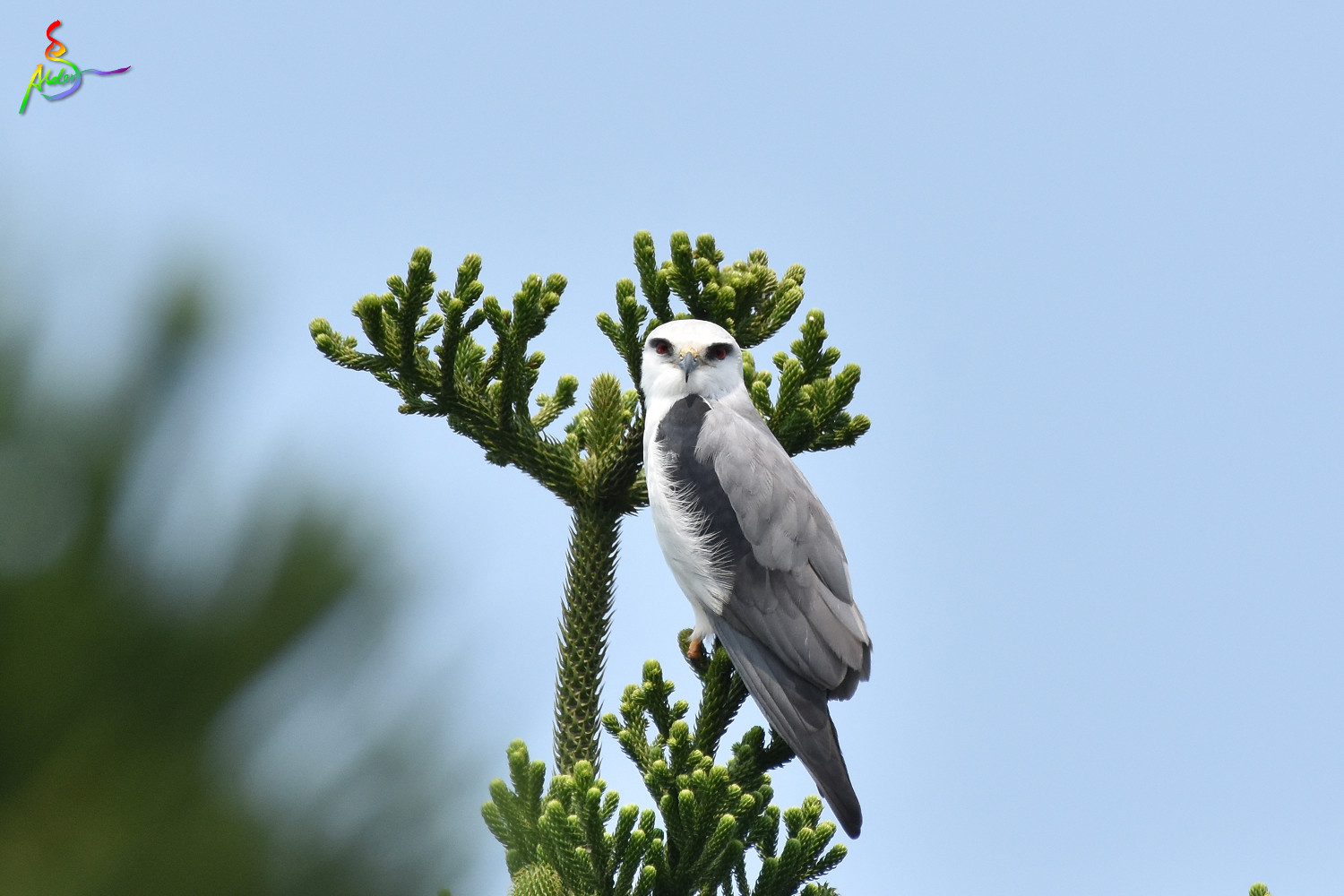 Black-winged_Kite_4917