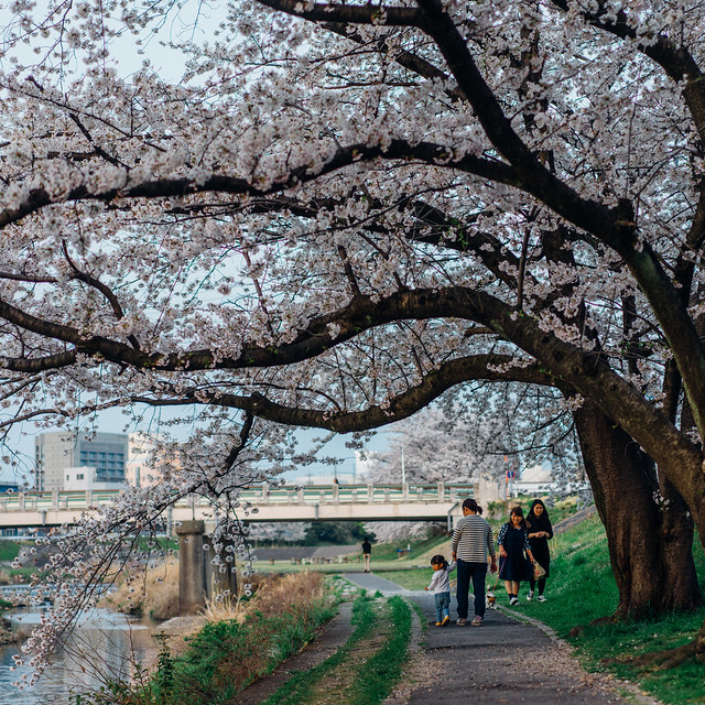 CherryBlossoms_71