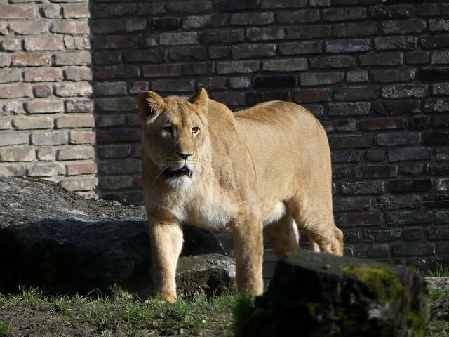 Löwin, Zoo Duisburg