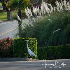 Egret in front yard
