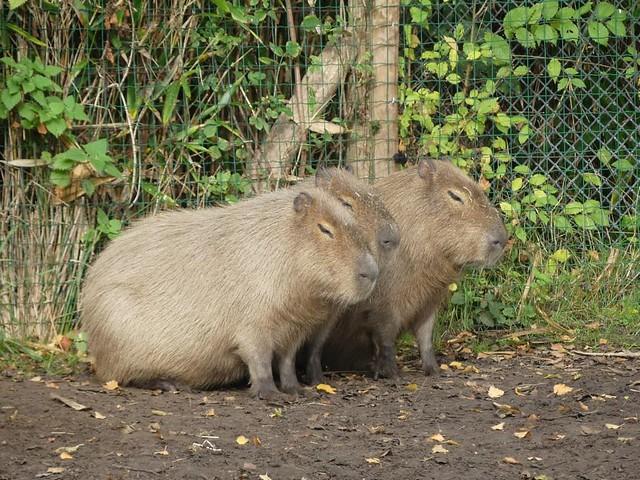 Wasserschwein, AquaZoo Friesland