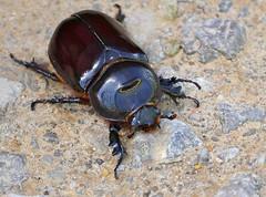 Rhino Beetle (Oryctes nasicornis) female