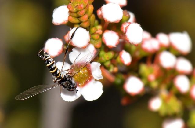 Toxophorinae Zaclava sp fly Tetropora