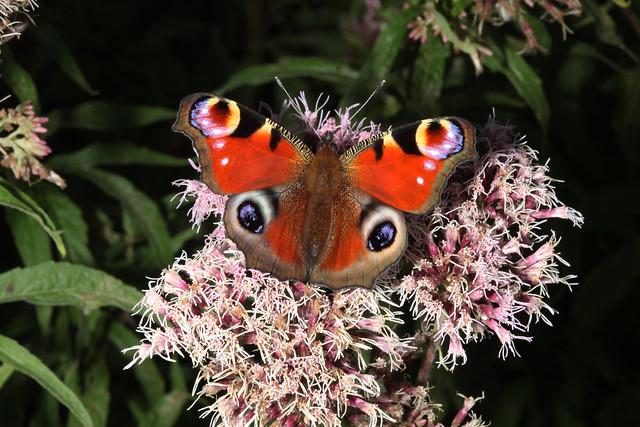 Aglais io sur Eupatorium cannabinum, le paon du jour sur eupatoire chanvrine, the peacock butterfly on hemp-agrimony.