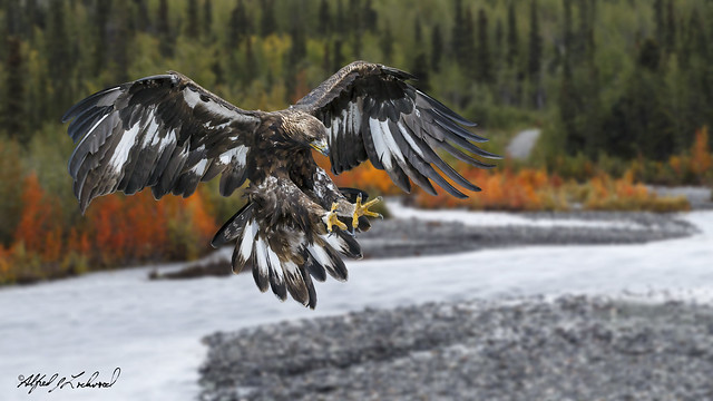 Golden Eagle Photobomber_MG_8751_T3W4014_Blend