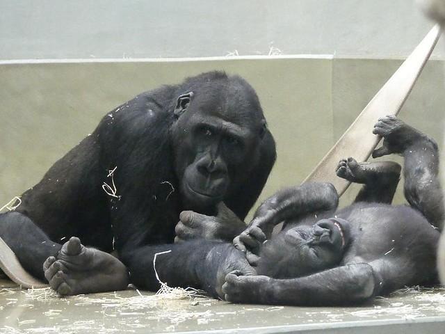 Gorilla Kimbali spielt mit den Brüdern, Wilhelma