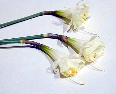 Narcissus bulbocodium × 'Taffeta','Nylon', & 'Jessamy'