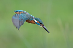 Kingfisher - male