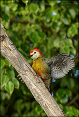 Jamaican Woodpecker (Melanerpes radiolatus)