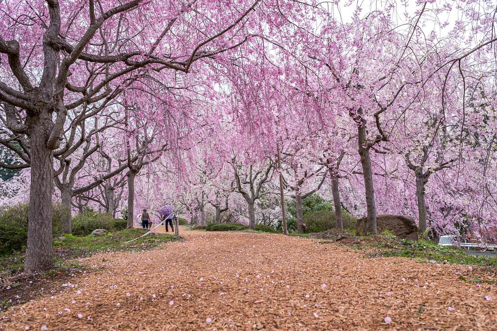 千路のしだれ桜
