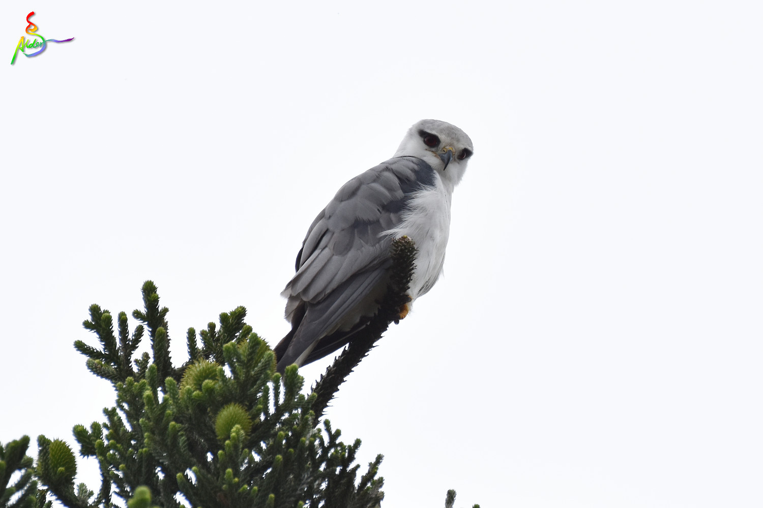 Black-winged_Kite_5002