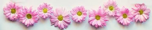 pink-daisies-divider