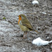 Robin in Snow and Mud 2