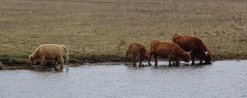 Schotse Hooglanders Groot Eiland