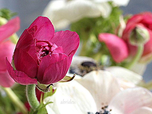 Ranunculus Bud, Canon EOS 100D, Canon EF 50mm f/2.5 Macro