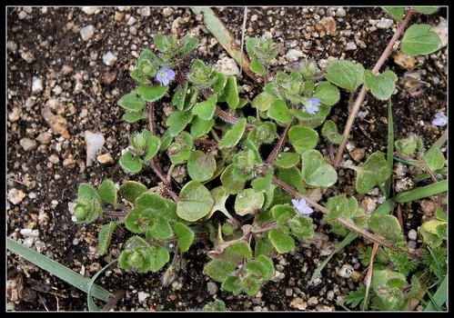 Veronica hederifolia subsp. hederifolia - véronique à feuilles de lierre  40533811905_9df329b9de