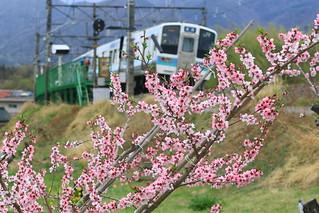 桃の花と211系