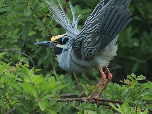 Yellow-crowned Night-Heron Display1 06-20180410