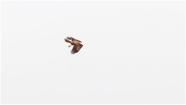 Marsh Harrier _MG_4920