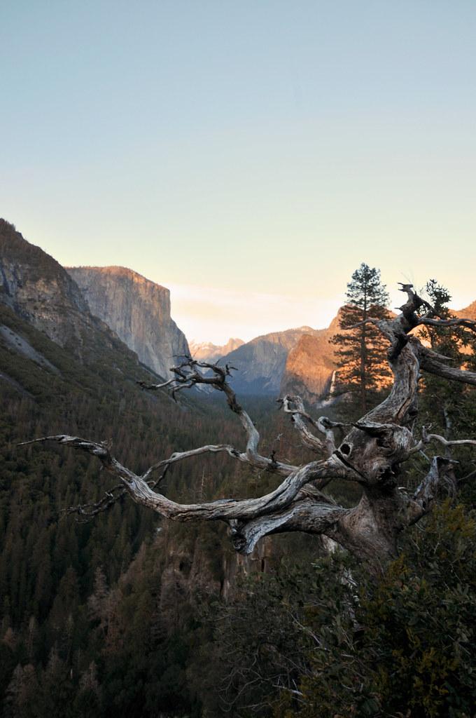 Dead Tree | Yosemite National Park, California