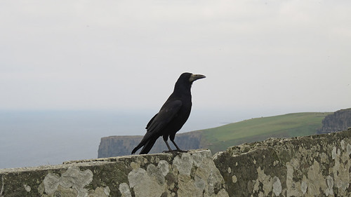 A crow on the slate wall at the Cliffs of Moher, Ireland