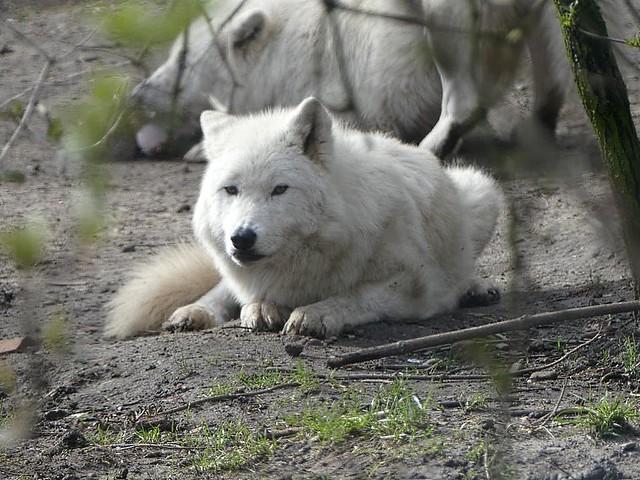 Polarwolf, Zoo Duisburg