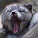 Arctic Fox...yawn