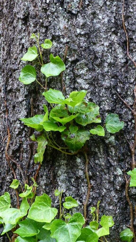 English Ivy on Oak