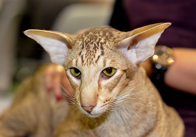 Oriental Shorthair Cat Pictures and Information - Cat ...