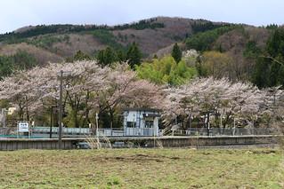 中山宿駅と桜