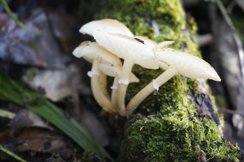 NUMERITSUBATAKE mushroom