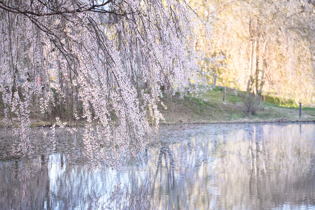 桜waterfall
